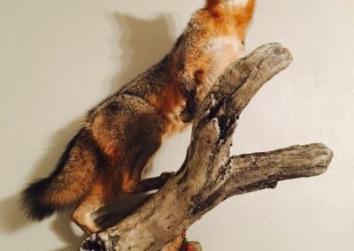 fox1_1